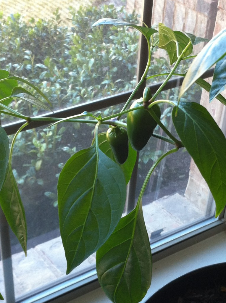 Early Jalapneos